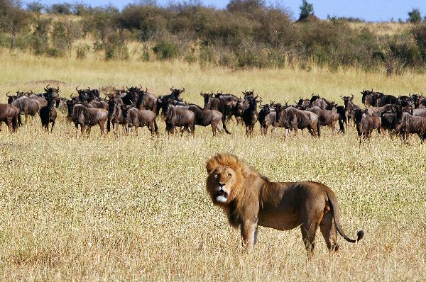 Lion_And_Wildebeest_Herd_In_Kenya_600